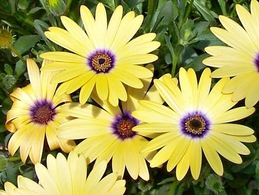 неприхотливые однолетние цветы, цветущие все лето - остеоспермум (капская маргаритка, африканская ромашка)
