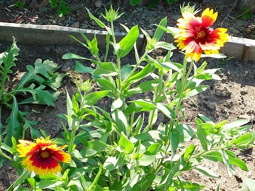 неприхотливые многолетние цветы, цветущие все лето - гайлардия
