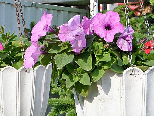 неприхотливые однолетние цветы, цветущие все лето - петуния ампельная