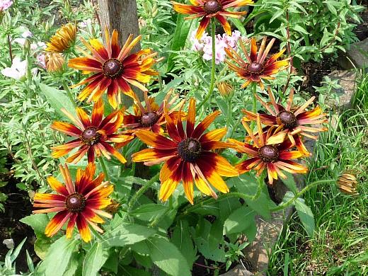 неприхотливые многолетние цветы, цветущие все лето - рудбекия