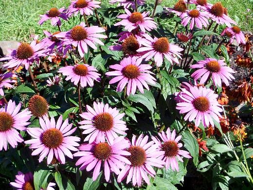 неприхотливые многолетние цветы, цветущие все лето - эхинацея