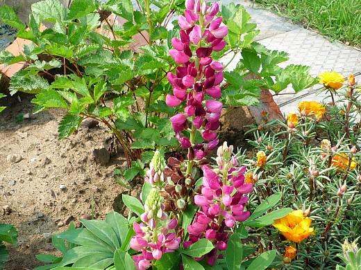 неприхотливые многолетние цветы, цветущие все лето - люпин