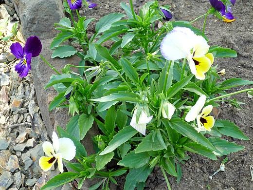 неприхотливые многолетние цветы, цветущие все лето - разноцветные анютины глазки