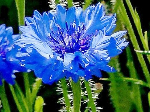 неприхотливые многолетние цветы - василек