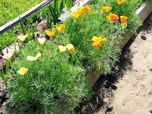 неприхотливые однолетние цветы, цветущие все лето - дачная грядка с эшшольцией