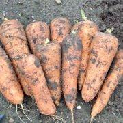 удобрение для моркови при посадке весной и осенью