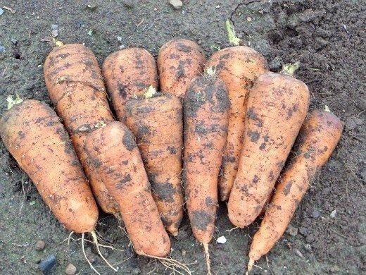 удобрения для моркови при посадке весной и осенью - урожай