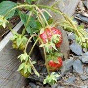как повысить урожайность клубники на даче