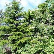 удобрения для хвойных растений - ель на даче