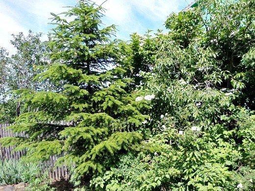 удобрения для хвойных растений - ель на даче, летом