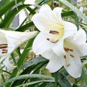удобрения для лилий при посадке и почвы для выращивания - восточный вид цветов 1