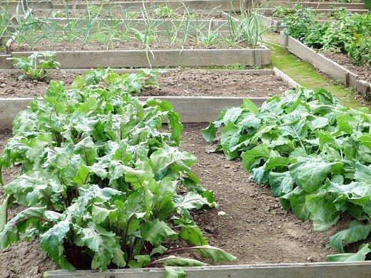 удобрения для свеклы при посадке и выращивании - огородные грядки