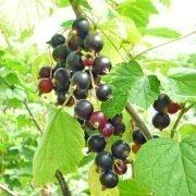 болезни и вредители черной смородины на дачном участке