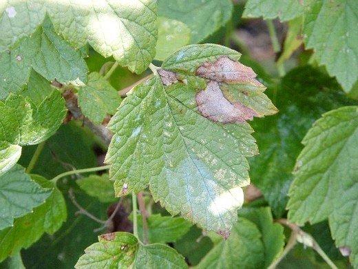 болезни и вредители смородины - мучнистая роса