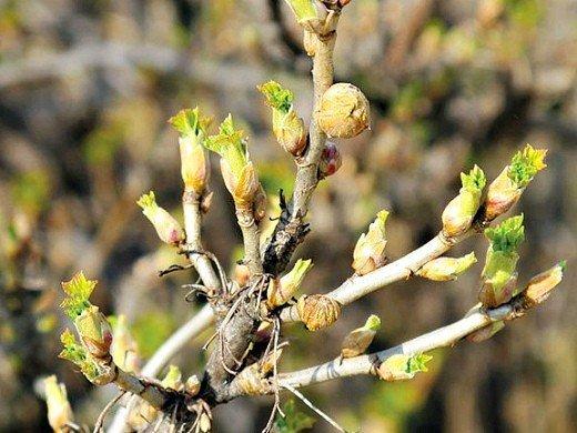 болезни и вредители смородины - почковый клещ