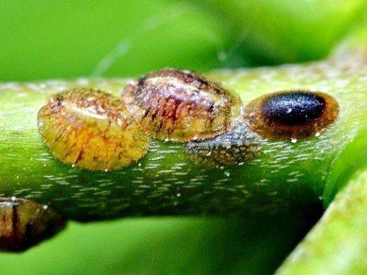 болезни и вредители смородины - щитовка