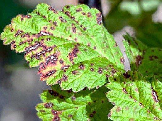 болезни и вредители смородины - септориоз