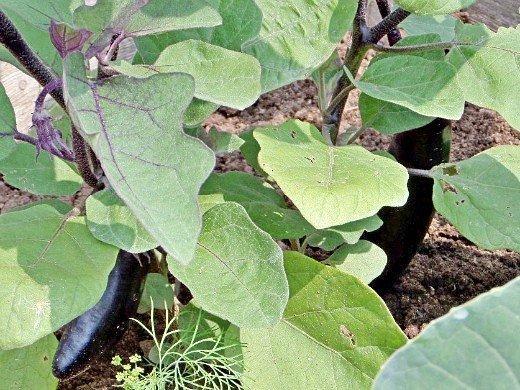 как повысить урожайность баклажанов на дачном огороде