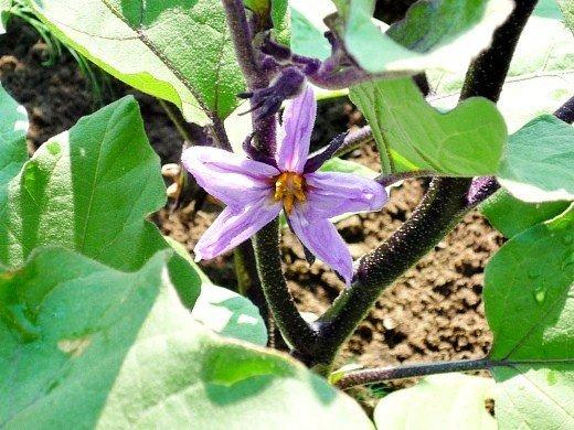 как повысить урожайность баклажанов - цветок