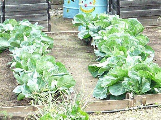 как повысить урожайность капусты в открытом грунте на даче