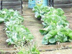 Как получить высокий урожай поздней капусты
