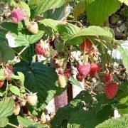 как повысить урожайность малины на даче