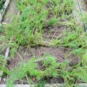 как повысить урожайность моркови на участке