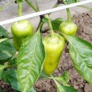 как повысить урожайность сладкого перца на даче