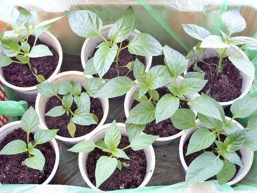как повысить урожайность сладкого перца - рассада