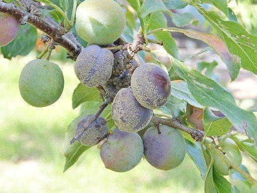 как повысить урожайность сливы - болезни