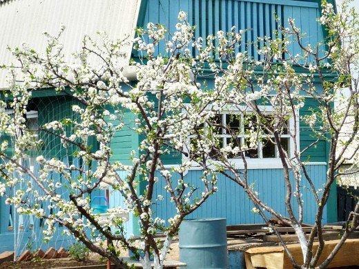 как повысить урожайность сливы - цветение на даче