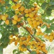 болезни и вредители абрикосов - здоровое дерево