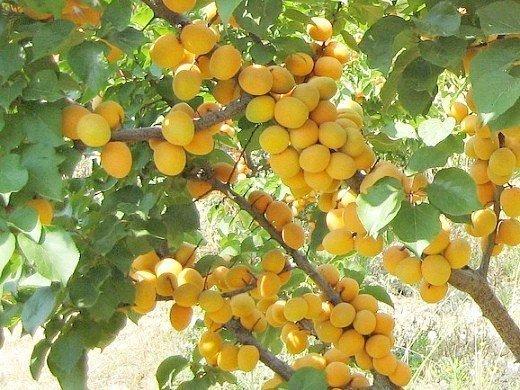 Болезни и вредители абрикосов