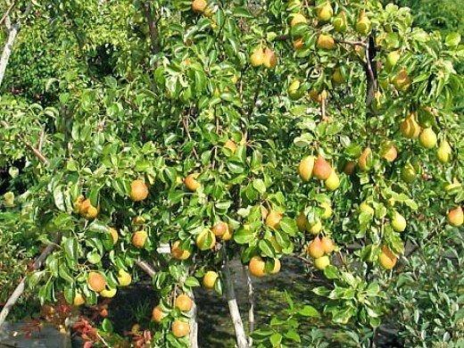 болезни и вредители груш - грушевое дерево