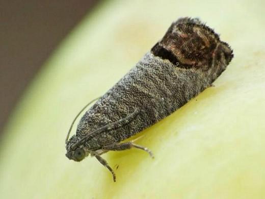 болезни и вредители груш - плодожорка