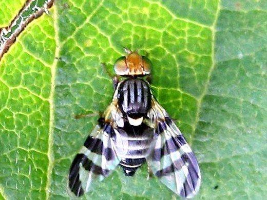 болезни и вредители облепихи - облепиховая муха