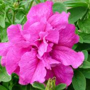 болезни и вредители петуний - цветы