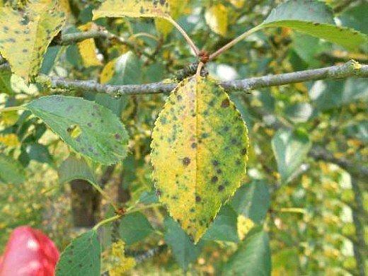 болезни и вредители вишни - коккомикоз