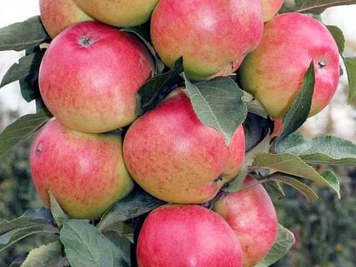 сорта яблонь для подмосковья, с описанием - аркадик