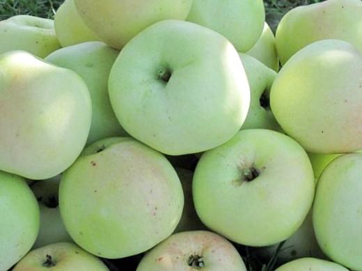 сорта яблонь для подмосковья, с описанием - чашниковское