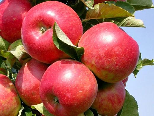 сорта яблонь для подмосковья, с описанием - елена