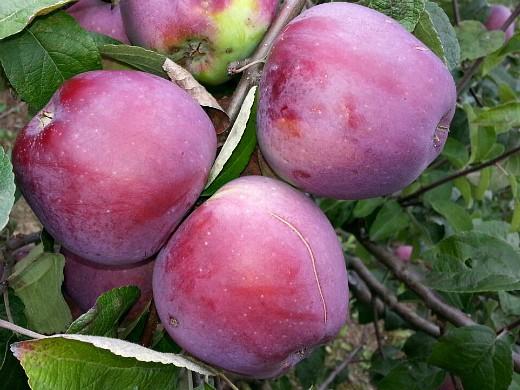 сорта яблонь для подмосковья, с описанием - имант