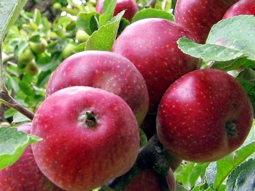 сорта яблонь для подмосковья, с описанием - коваленковское