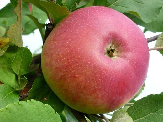 сорта яблонь для подмосковья, с описанием - марат бусурин