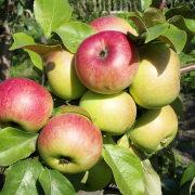 сорта яблонь для подмосковья, с описанием - московское зимнее