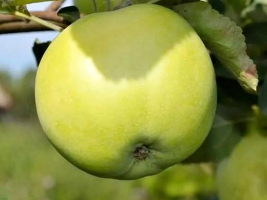 сорта яблонь для подмосковья, с описанием - народное