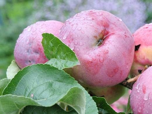 сорта яблонь для подмосковья, с описанием - подарок графскому
