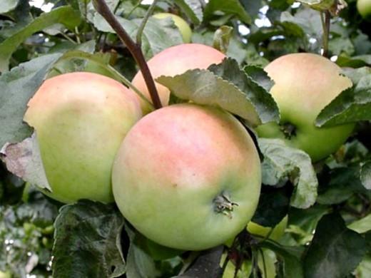 сорта яблонь для подмосковья, с описанием - сергиана