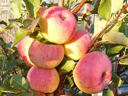 сорта яблонь для подмосковья, с описанием - услада