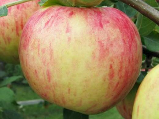 сорта яблонь для подмосковья, с описанием - яблочный спас
